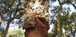 albero da sughero